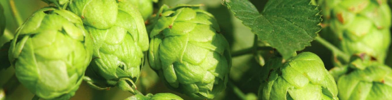 خواص شگفت انگیز گیاه رازک